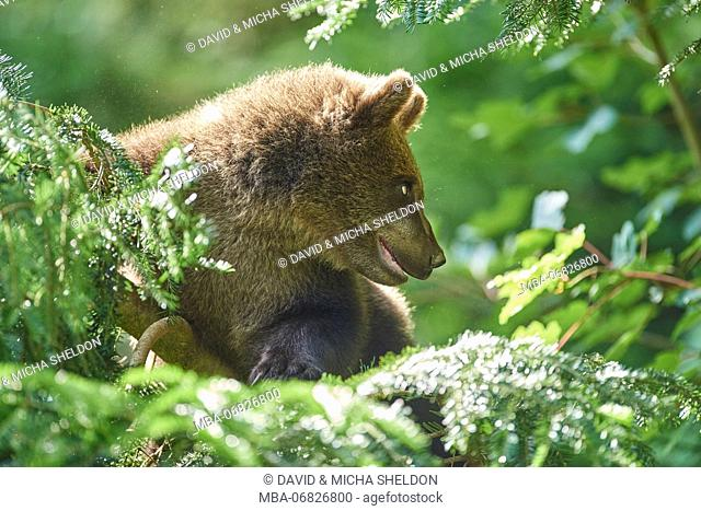 European brown bear, Ursus arctos arctos, young animal, wilderness, sidewise