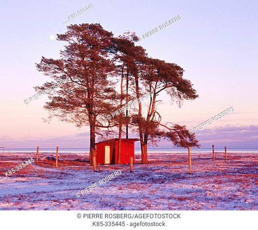 Moon, Pines (Pinus sylvestris), red hut, Baltic Sea. Öland. Sweden
