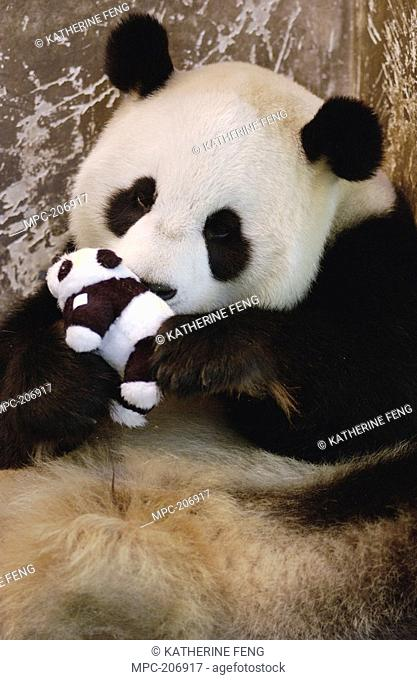 Giant Panda Ailuropoda melanoleuca named Gongzhu, captive born and raised, learning parenting skills with toy baby after rejecting her two cubs born in 2003  In...