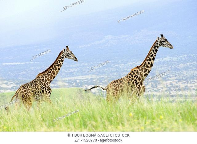 Giraffe (Giraffa camelopardalis), Rift Valley, Tanzania