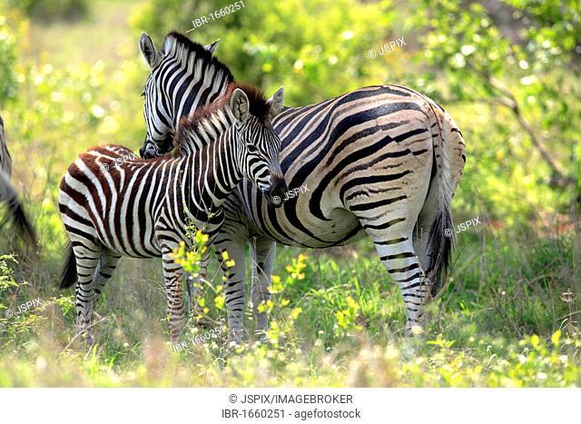 Plains Zebra, Burchell's Zebra (Equus quagga), female adult with young, Kruger National Park, South Africa, Africa