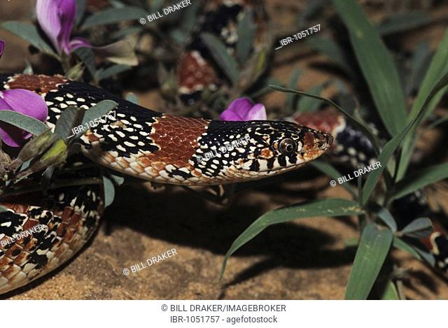 Texas Long-nosed Snake (Rhinocheilus lecontei tessellatus), adult, Starr County, Rio Grande Valley, Texas, USA