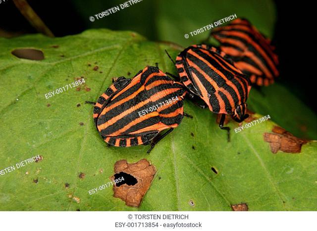 Strip bugs Graphosoma lineatum