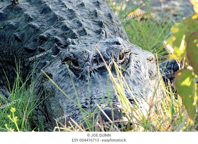 Alligator Standoff