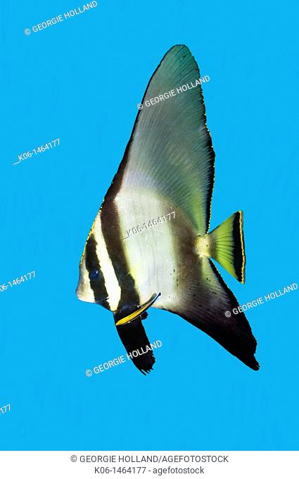 Longfin spadefish Platax teira cut out on blue back ground