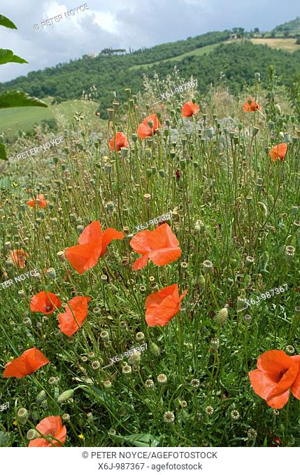 Poppys and wild flowers in Tuscany, Italy