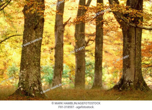 Common beech (Fagus sylvatica). Woodland in autumn. Scotland. UK