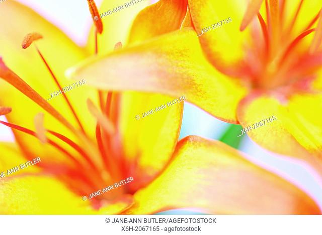 stunning large bloom lilies, bright and alluring - fine art photography