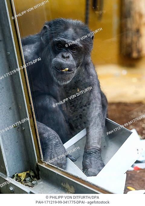 Ape zoo cage Stock Photos and Images | age fotostock