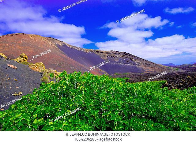 spain,canary islands,lanzarote : montana ortiz and fig tree