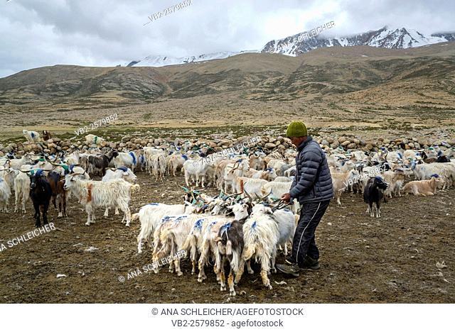 Pashmina goats in a nomads campsite during their summer festival of Tso Moriri lake, Ladakh (India)