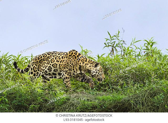 Adult Jaguar (Panthera onca) stalking on the edge of a river, Pantanal, Mato Grosso, Brazil