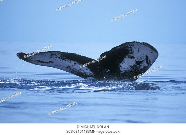 Adult Humpback Whale Megaptera novaeangliae fluke-up dive in the AuAu Channel, Maui, Hawaii, USA Pacific Ocean