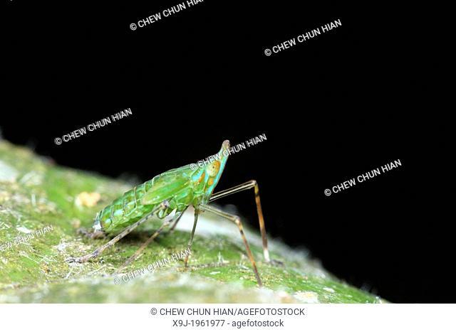 Fulgoridae in borneo, gunung gading national park, lundu, sarawak, Malaysia