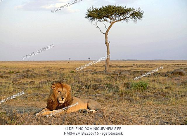 Kenya, Masai Mara Reserve, Lion (Panthera leo), male lying in the savanna near a tree at sunset