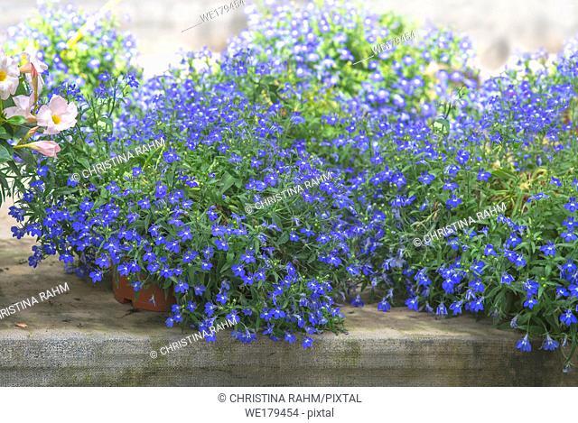 Blue lobelia flowers on greenhouse canvas. Spring garden series, Mallorca, Spain