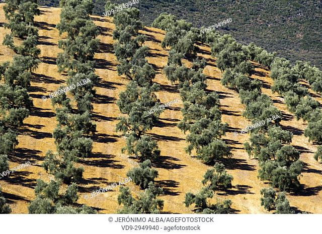 Field of olive trees, Antequera. Málaga province, Andalusia. Southern Spain Europe