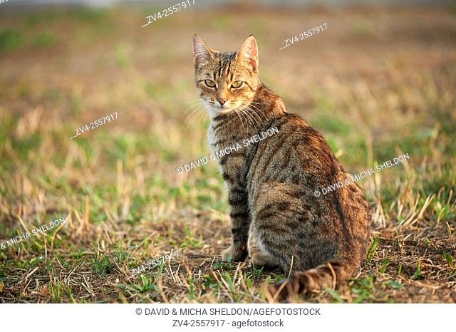 Close-up of a domestic cat (Felis catus or Felis silvestris catus) on a meadow in late summer