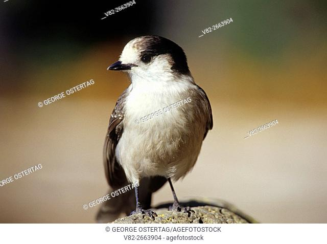 Gray jay (Perisoreus canadensis), Three Sisters Wilderness, Deschutes National Forest, Oregon