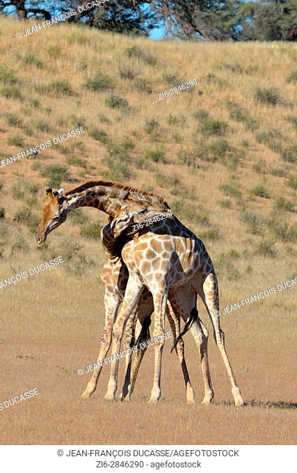 South African giraffes (Giraffa camelopardalis giraffa), two bulls fighting, Kgalagadi Transfrontier Park, Northern Cape, South Africa, Africa