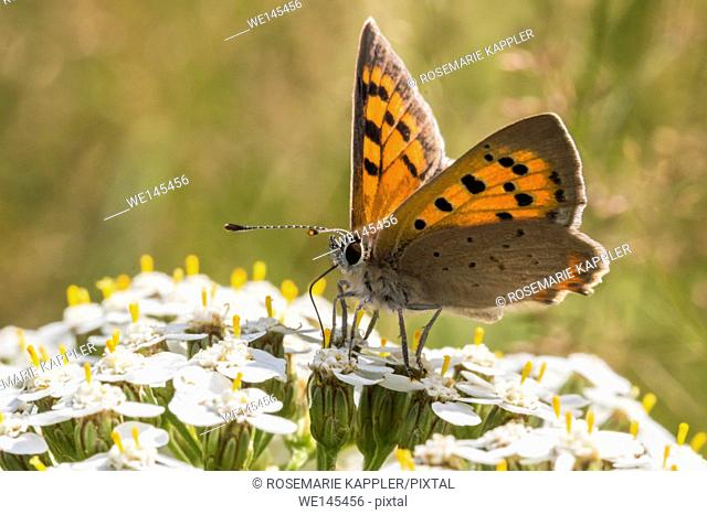 Germany, Saarland, Homburg - A common copper is sitting on a grass-stock