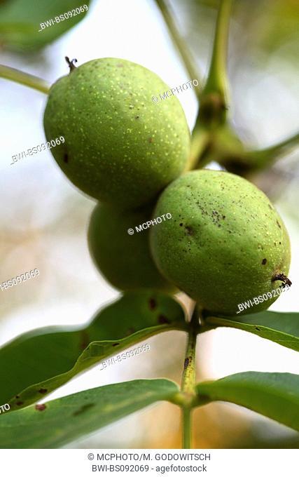 walnut (Juglans regia), immature fruit on tree
