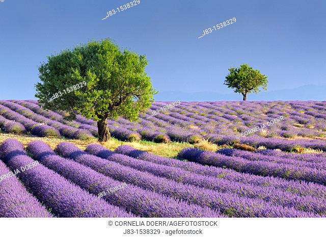 Lavender (Lavandula angustifolia) field with trees  Valensole, Plateau de Valensole, Alpes-de-Haute-Provence, Provence-Alpes-Cote d'Azur, Provence, Provence