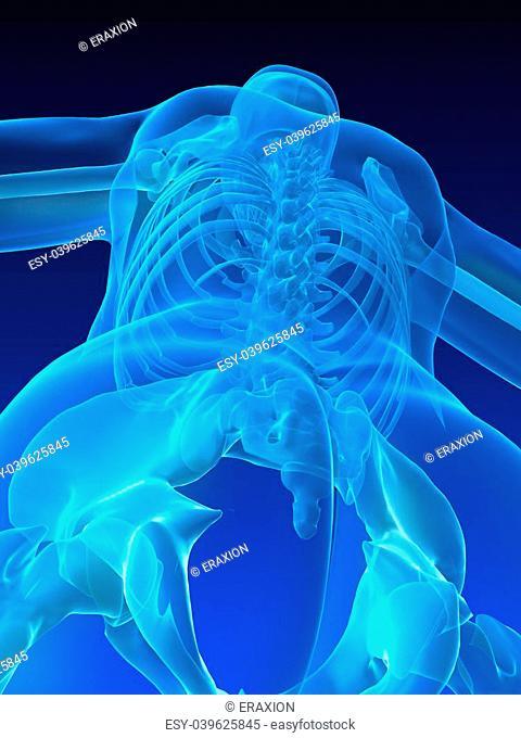 3d rendered illustration of a human skeleton - backside