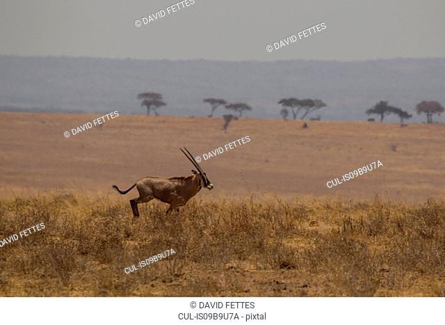 Oryx, Oryx beisa, Tarangire National Park, Tanzania