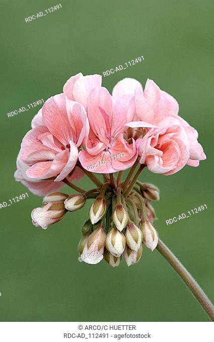 Geranium Pelargonium hybride