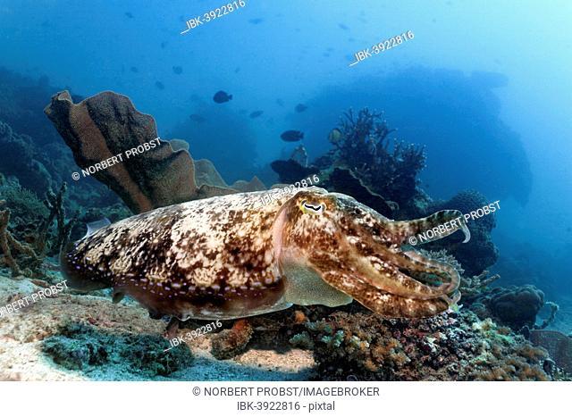 Bbroadclub Cuttlefish (Sepia latimanus) over coral reef, Sabang Beach, Puerto Galera, Mindoro, Philippines