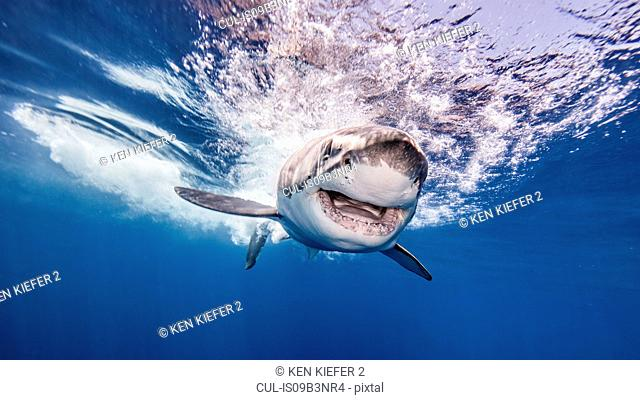 Great White shark entering water after attacking bait, underwater view