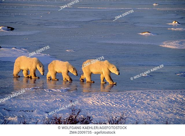 CANADA, MANITOBA, NEAR CHURCHILL, POLAR BEAR MOTHER WITH CUBS (ABOUT TWO YEARS OLD)