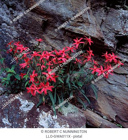 Firepink Silene virginica Growing Against a Rock Face  Great Smoky Mountains National Park, Tennessee, United States of America