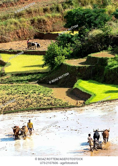 Paddy fields preparations and transplanting in Madagascar