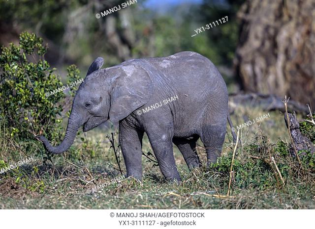 African Elephant baby feeding on grass in Ol Pejeta, Laikipia