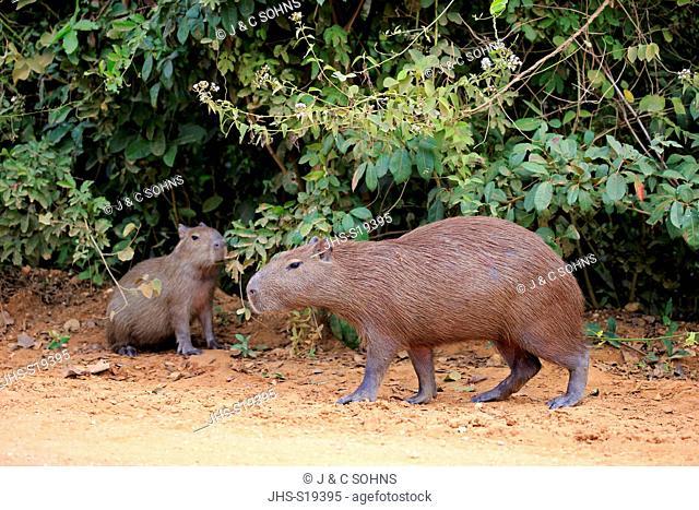 Capybara, (Hydrochoerus hydrochaeris), adult with young on shore, Pantanal, Mato Grosso, Brazil, South America
