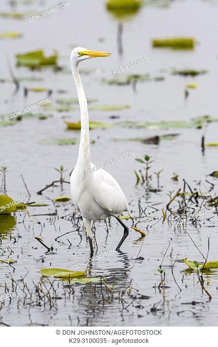Great egret (Casmerodius albus, Ardea alba, Egretta alba) Foraging in marsh in early spring, Anahuac NWR, Texas, USA