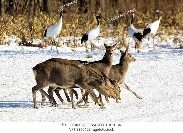 Sika deer in Tsurui fields, Hokkaido, , Japan