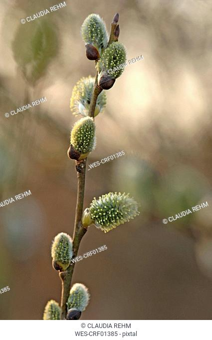 Goat Willow, close-up Salix caprea, close-up