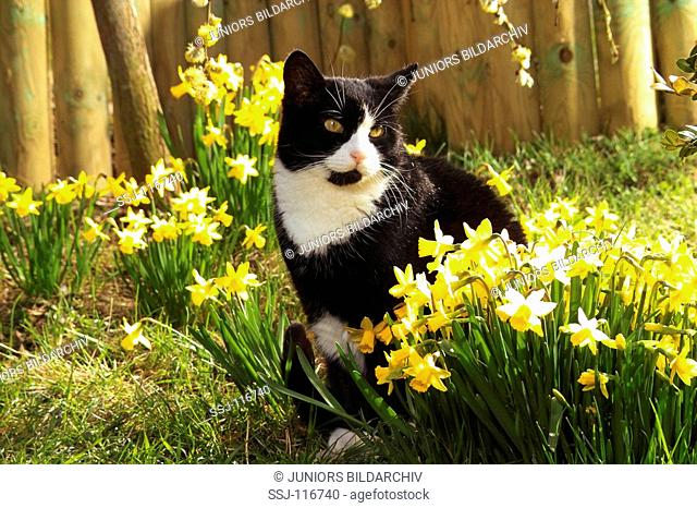 Domestic Cat - sitting in daffodils