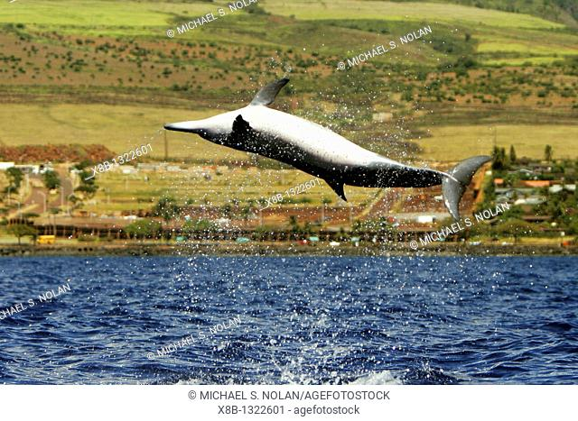 Hawaiian Spinner Dolphin Stenella longirostris 'spinning' off Waikuli on the coast of Maui, HAwaii, USA  Pacific Ocean