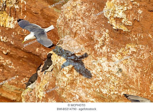 black-legged kittiwake (Rissa tridactyla, Larus tridactyla), flying at bird rock, Germany, Schleswig-Holstein, Heligoland