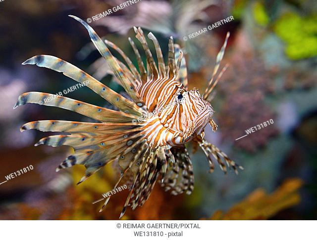 Colorful pectoral fins of Pterois volitans or red lionfish with venomous spiky fin rays in an aquarium