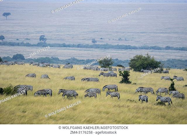 Plains zebras (Equus quagga, formerly Equus burchellii) also known as the common zebra or Burchell's zebra walking through the grassland in the Masai Mara...