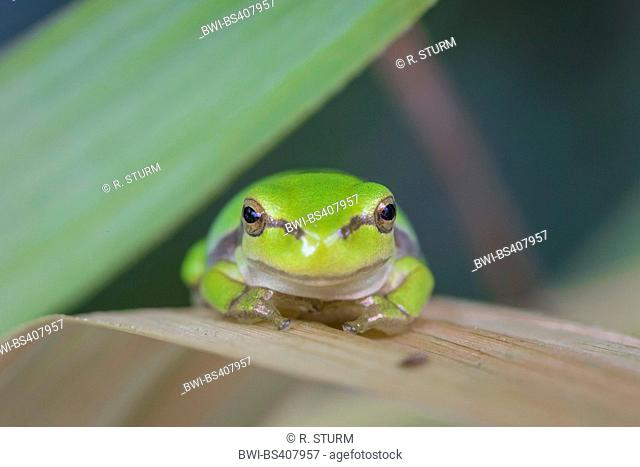 European treefrog, common treefrog, Central European treefrog (Hyla arborea), sits on a reed leaf, Germany, Bavaria