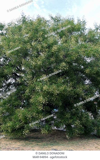 styphnolobium japonicum tree or sophora japonica, gropello cairoli, italy