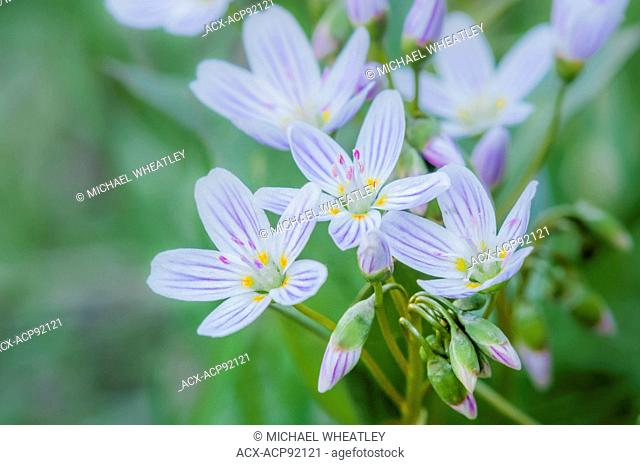 Western Spring beauty flowers, (Claytonia lanceolata) Okanagan Valley, British Columbia, Canada