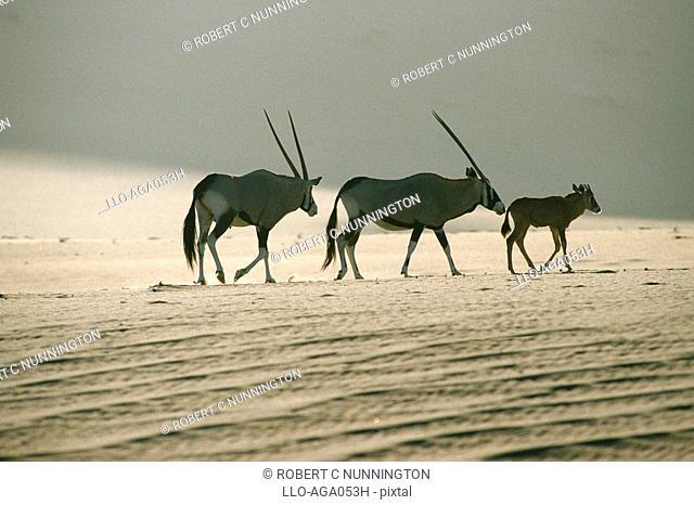 Gemsbok Oryx gazella Family Walking Across Dry Desert Plain  Namib Naukluft National Park, Namibia