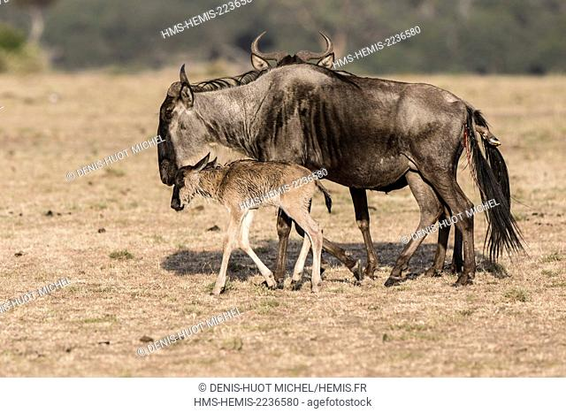 Kenya, Masai Mara game reserve, wildebeest (Connochaetes taurinus), mother and newborn